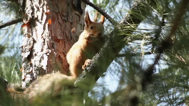 veverka na stromě.