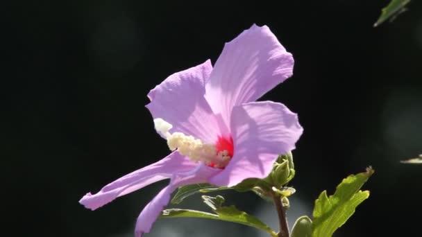 ibišek květ