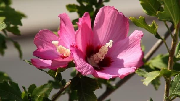 Hibiszkusz virág