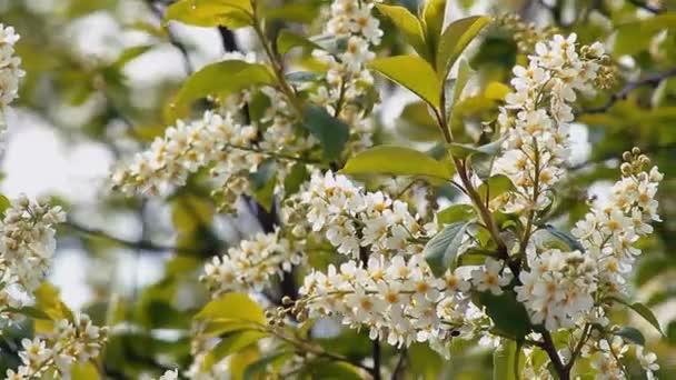 Třešňové květy: květy a lístky ve větru