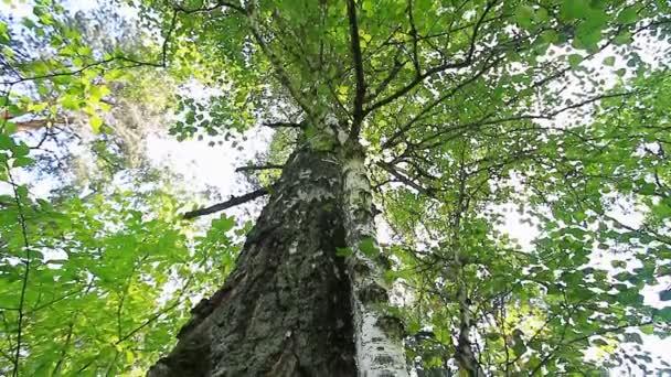 zöld levelek, és a régi fa.