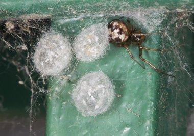 Triangulate Cobweb and Egg Sacs