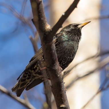 Starling on a branch closeup