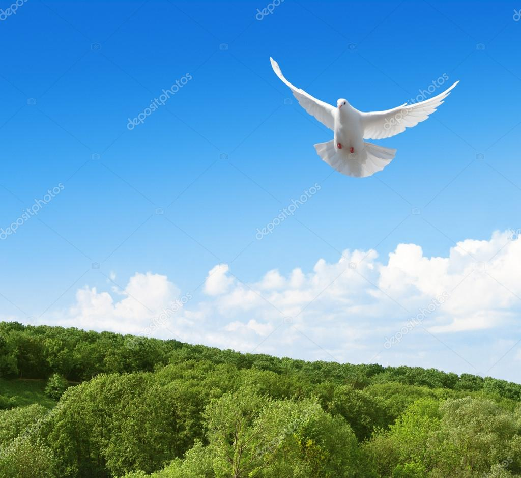 White dove in the sky above forest
