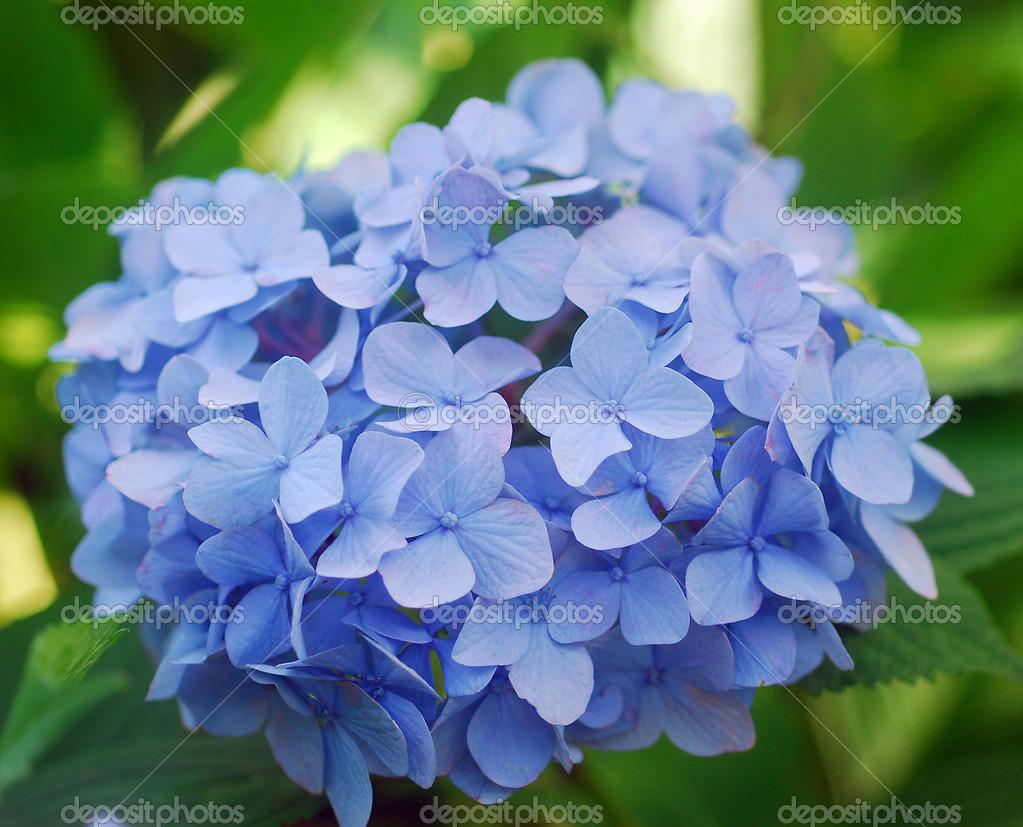 Blaue Hortensie Hortensien Blume Stockfoto C Nikonite 13376990