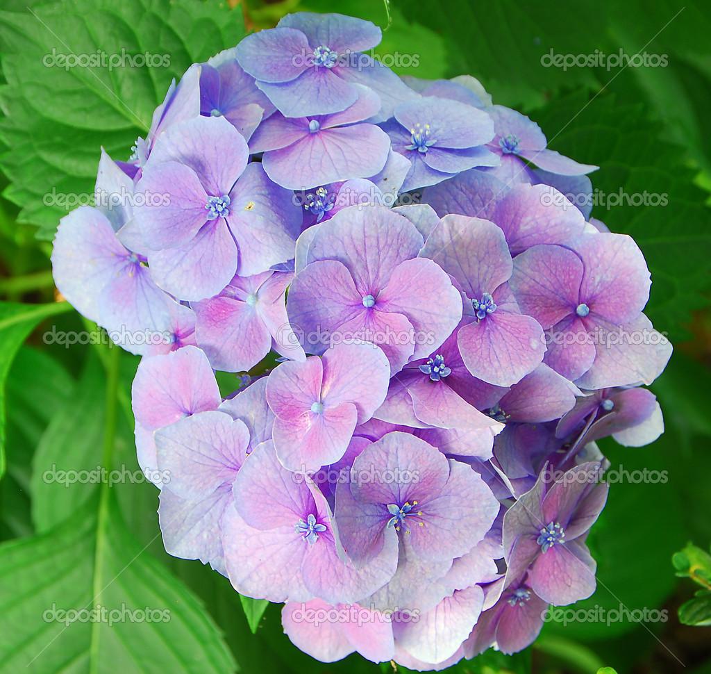 Flor de hortensia foto de archivo hortensia flor azul - Porros de hortensias ...