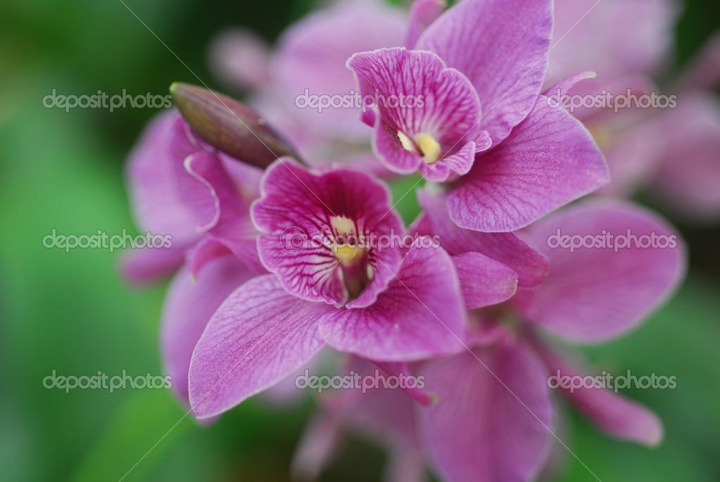 fleur clarisse orchid e cymbidium de feuilles persistantes blanc rose en fleur photographie. Black Bedroom Furniture Sets. Home Design Ideas