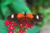 Izolované záběr tygr oranžový motýl hmyzu krmení na květ