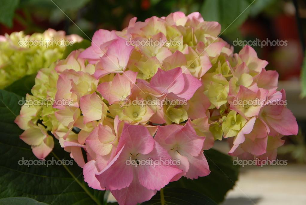 Grappe de fleur de rose hortensia jaune en fleurs au printemps photographie nikonite 22244897 - Taille des rosiers au printemps ...