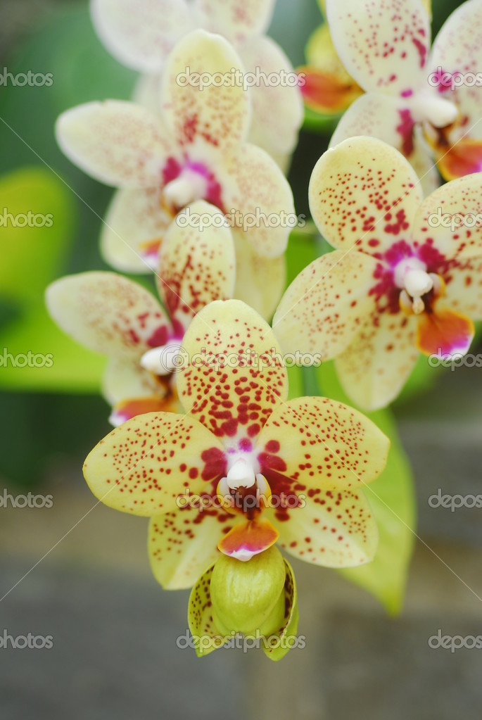 Yellow And Pink Orchid Phalaenopsis Pink yell...