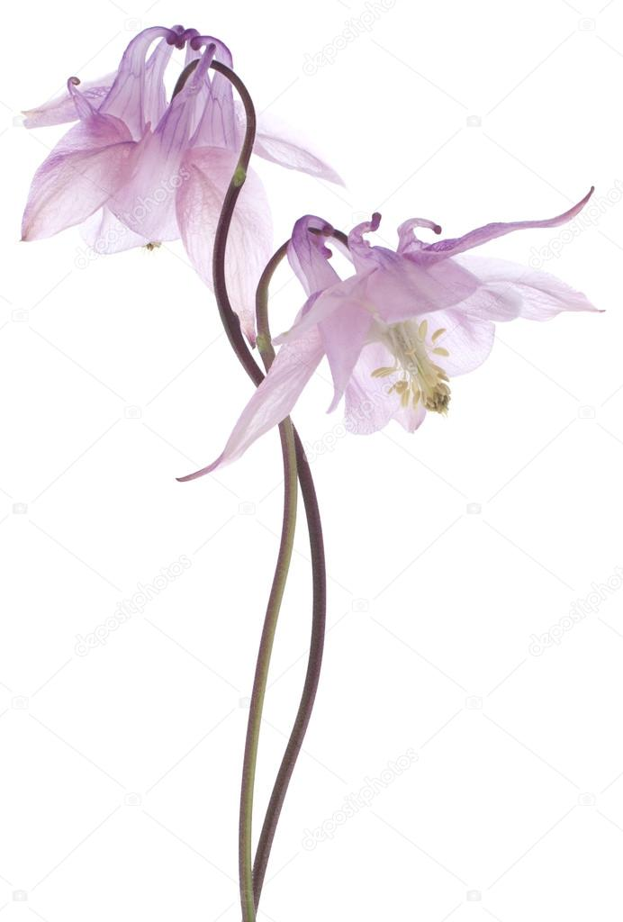 Columbine flowers
