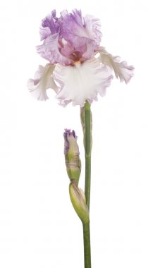 Studio Shot of Pink Colored Iris Flower Isolated on White Background. Large Depth of Field (DOF). Macro. Symbol of Trust and Wisdom. Emblem of France. stock vector