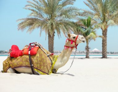 Camel resting on the beach