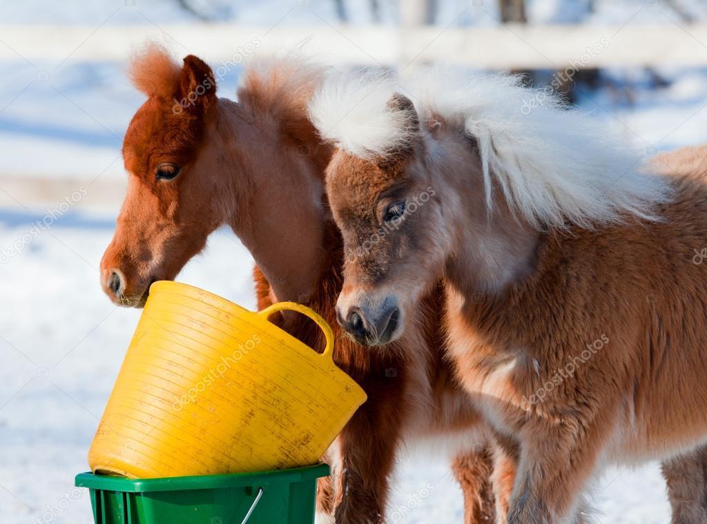 Ponies eating in winter