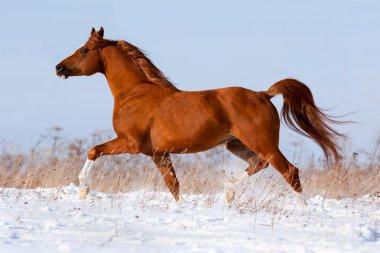 Arabian chestnut horse in winter