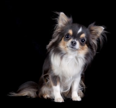 Chihuahua dog isolated on black