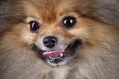 Fényképek Pomeranian (spitz) dog