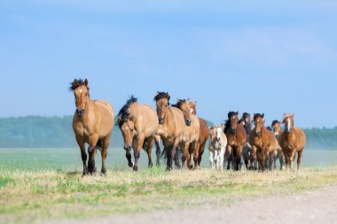Herd of horses runs in field