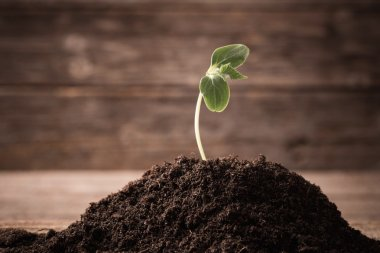 Young seedling growing in a soil on wooden background