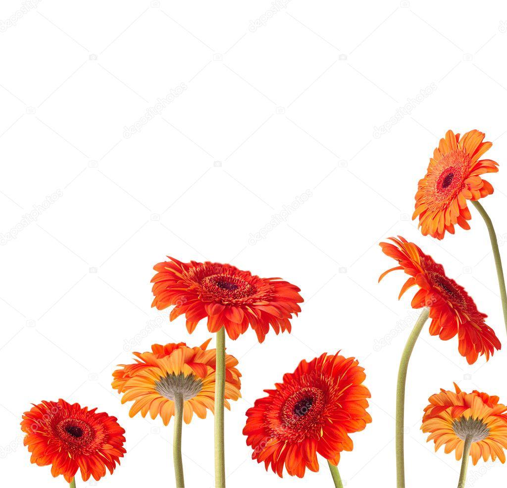 orange Gerber flowers over white background