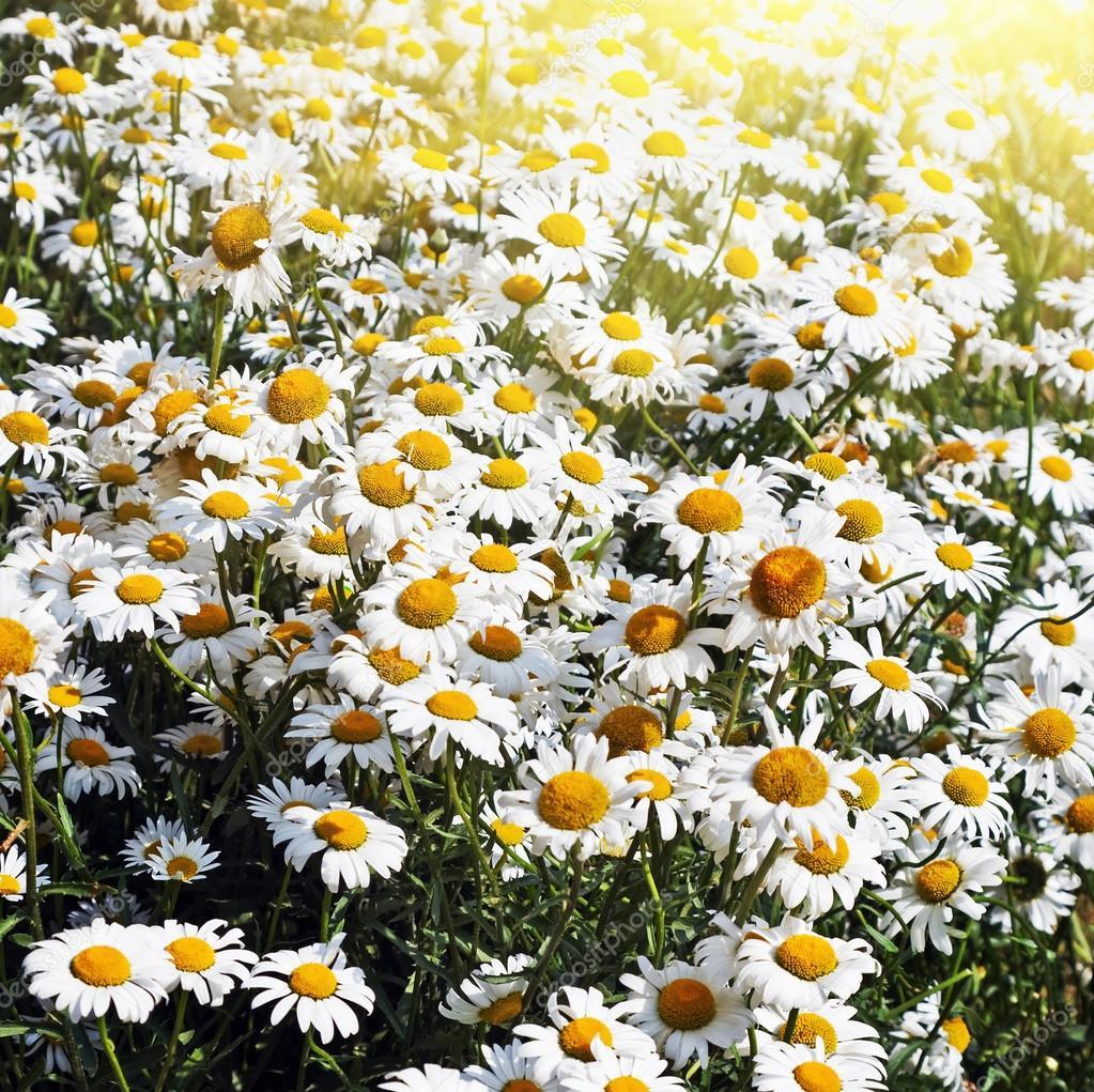 Field of flowers daisies stock photo doroshin 25061541 field of flowers daisies stock photo izmirmasajfo Gallery