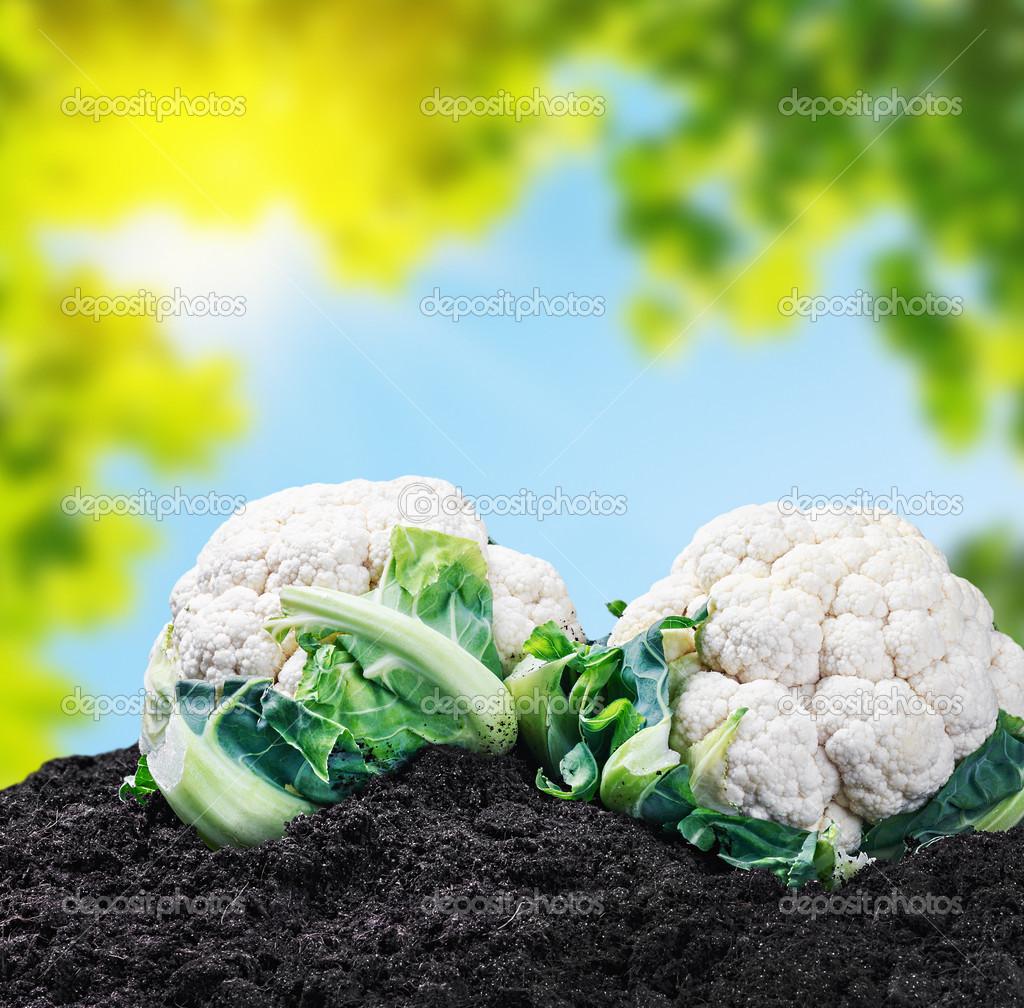 Chou Fleur De Recolte Sur Le Terrain Photographie Doroshin C 49812767