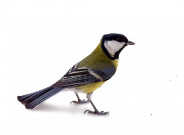 Various great tit