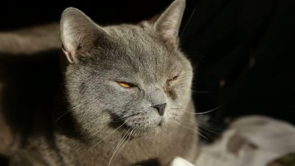 Britská kočka zívá