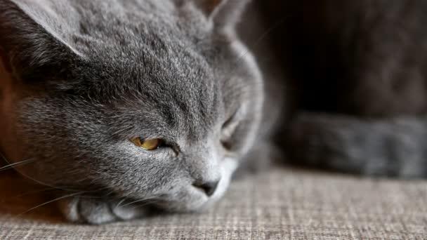 Britská kočka leží na pohovce a spánek