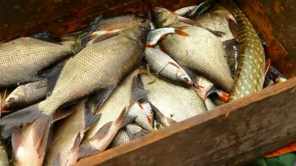 čerstvě ulovených ryb ležela v hromadě