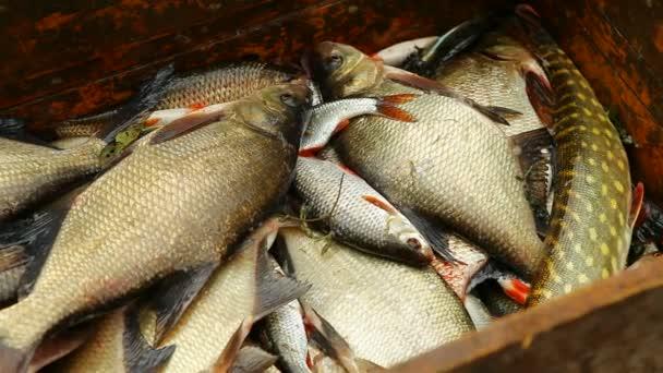 Frissen fogott halat lay-halom