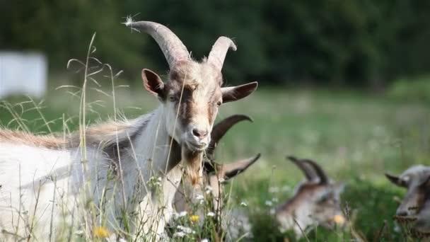 navštívil stádo koz na louce