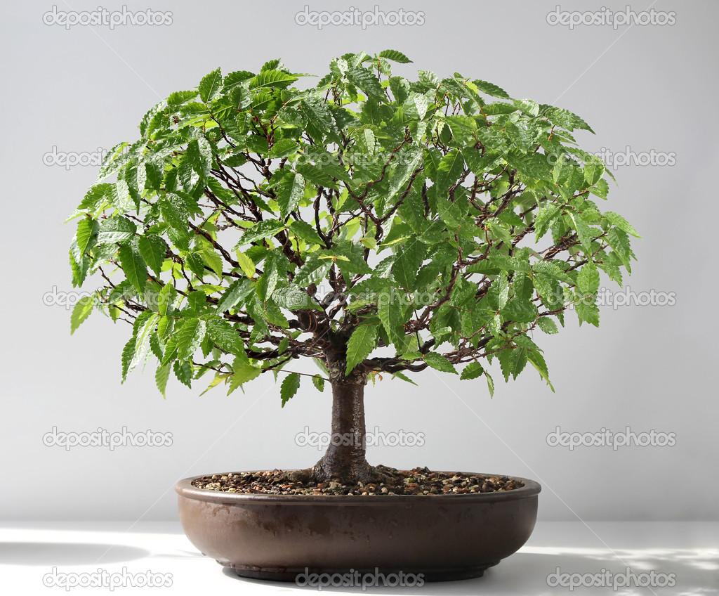 Bonsai Elm Tree Stock Photo C Stanod 46661159