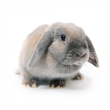 Grey rabbit isolated on white background