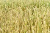 Fotografie pole pšenice