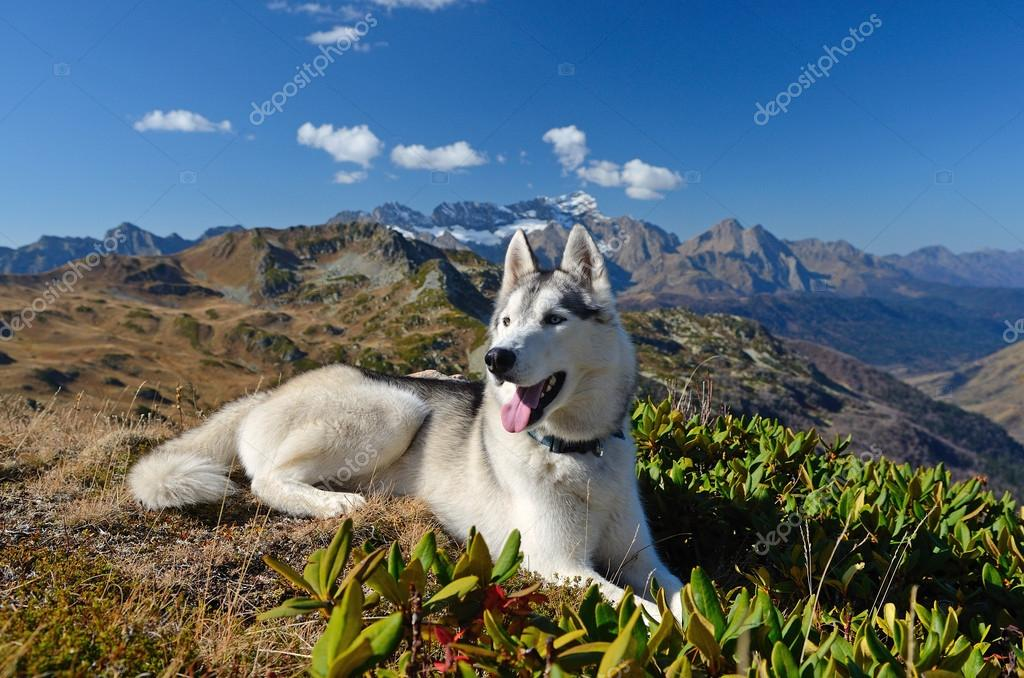 A happy husky dog hiking in the mountains