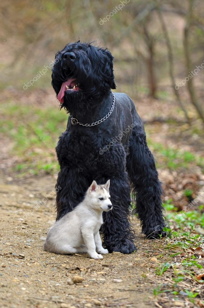 Huge Black Terrier With A Small Siberian Husky Puppy Stock Photo
