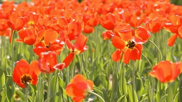 nápadné na jaře kvetoucí červený Tulipán