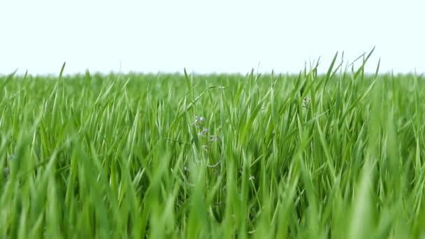 vítr, vlající zelené trávy