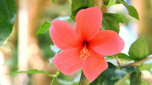 piros Hibiszkusz virág, zöld levelei