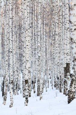 Winter birch forest, january