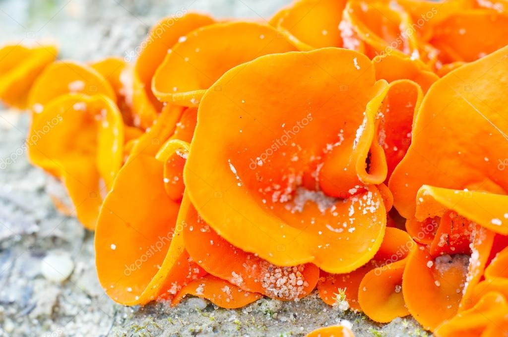 Edible mushroom (aleuria aurantia) from european sub-tropical cl
