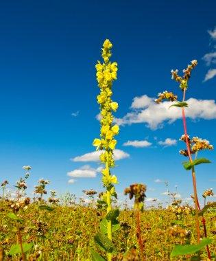 flower of the flowering buckwheat field