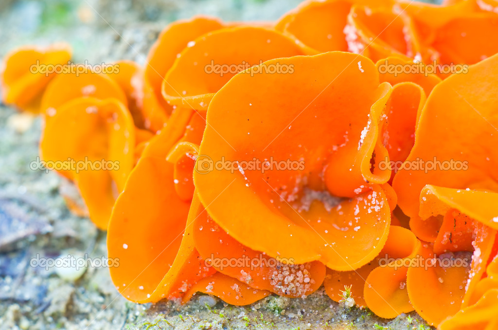Edible mushrooms (aleuria aurantia) from sub-tropical climate
