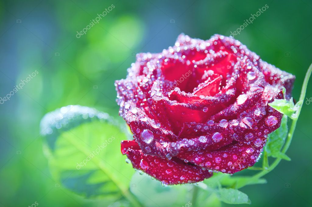 Flower red rose with dew drops