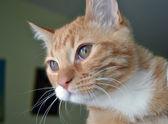 Vörös macska