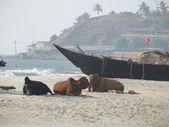 tehenek a strandon