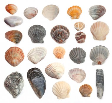 Cockleshells on a white background