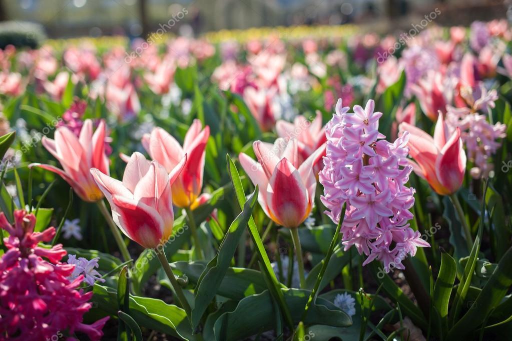 Park Als Tuin : Bloemen in de keukenhof park nederland ook bekend als de tuin