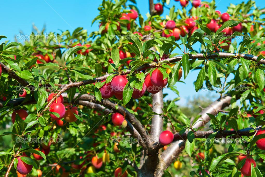 árvores de fruto de pequeno porte